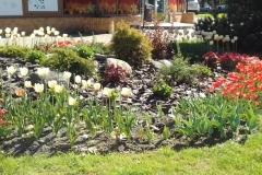 красивая клумба с тюльпанами