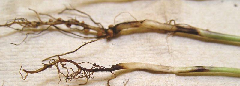 Черная ножка на рассаде
