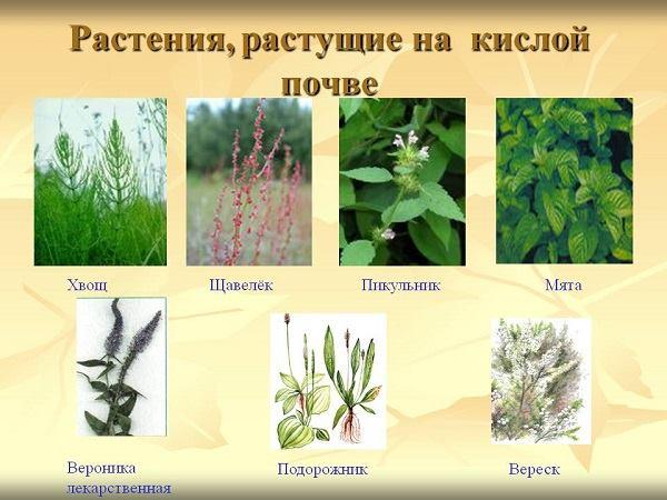 сорняки, растущие на кислой почве