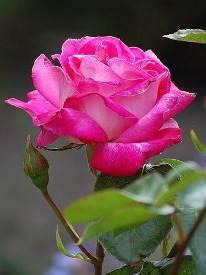 Роза - обрезка летом