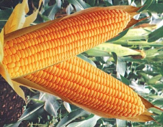 кукуруза Аурика
