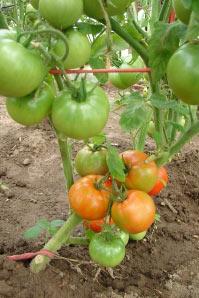 созревание помидоров