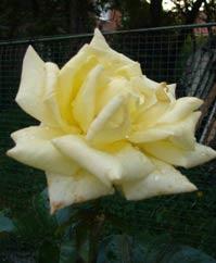 агротехника роз