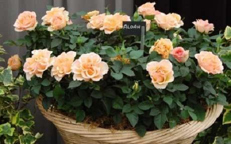 roza-podok