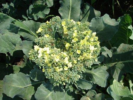 brokkoli-v-cvetu