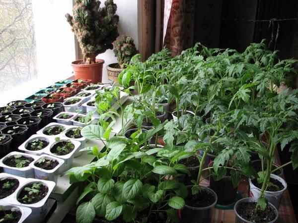 помидоры и огурцы на одном подоконнике