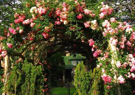 роза-плетистая