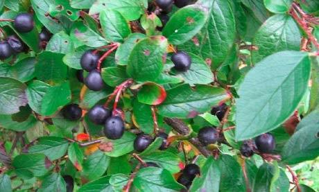 кизил-черноплодный