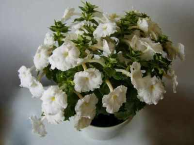 цветущий ахименес