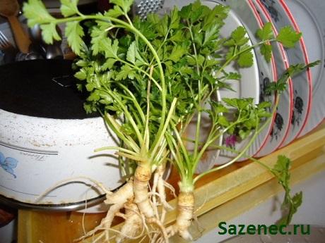фото корневой петрушки перед заготовкой