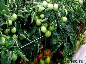 фото крупных помидоров