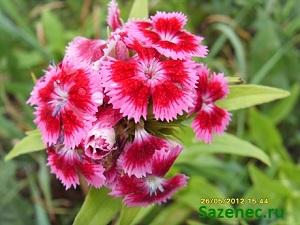 фото розовой турецкой гвоздики
