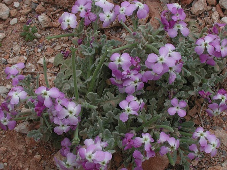 цветки маттиолы