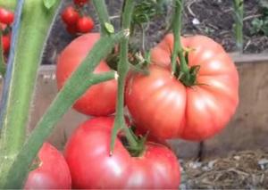 сорта томатов фото
