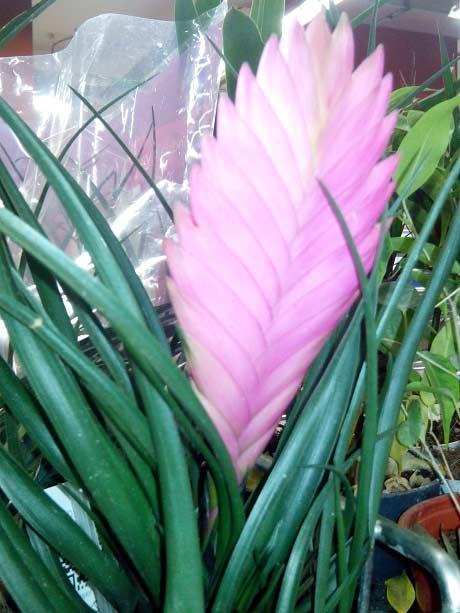 фото цветка тилландсии