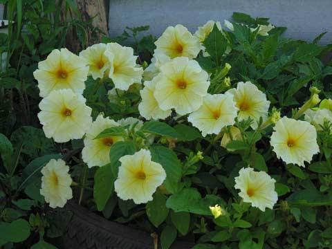 петуния желто-белая