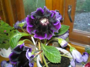 глоксиния фиолетовая