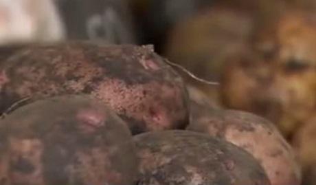картошка с красной кожурой фото