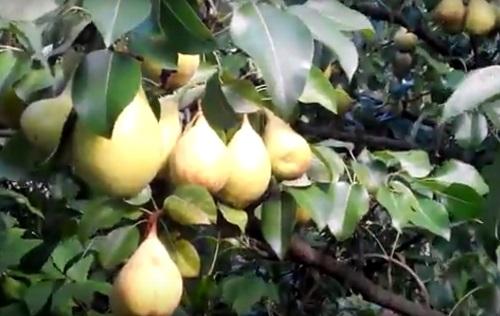 фото плодов груши