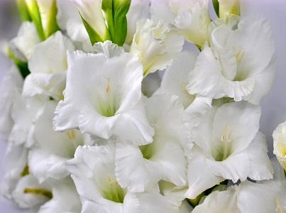 фото цветов белых гладиолусов