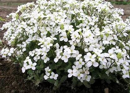 Многолетние цветы белого цвета