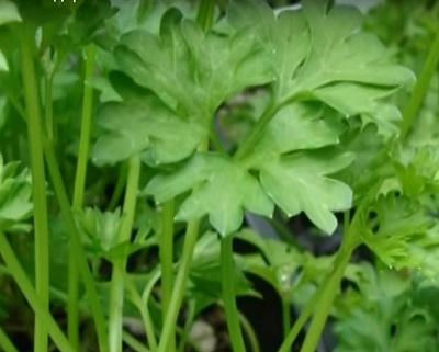фото листьев петрушки