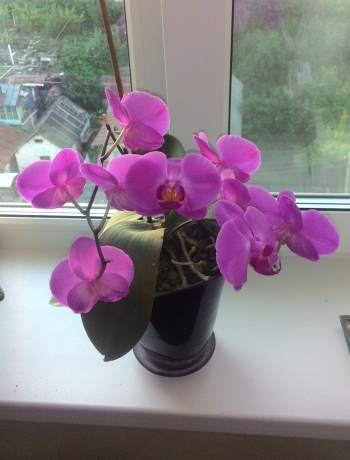 фото цветущей орхидеи