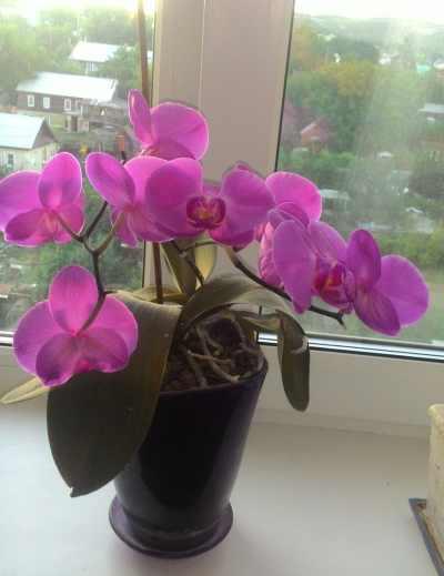 цветущая орхидея