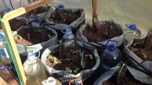 посев огурцов в мешки