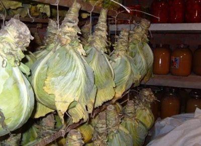 кочаны капусты подвешены к потолку