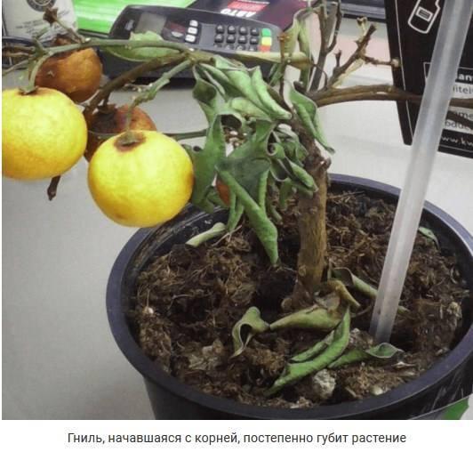 корневая гниль у лимона