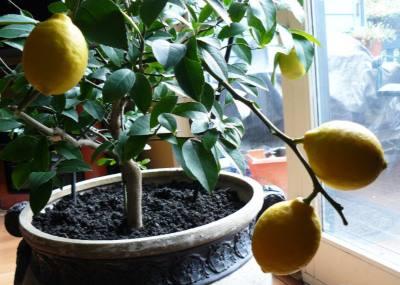 деревце лимона с плодами