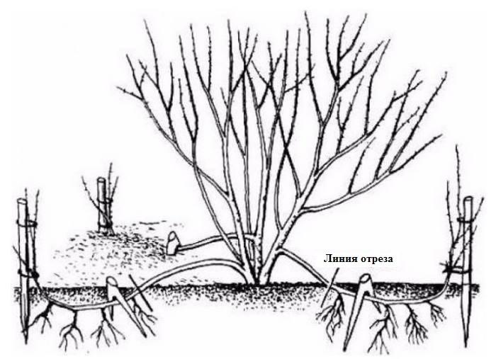 размножение кампсиса укоренением отводков