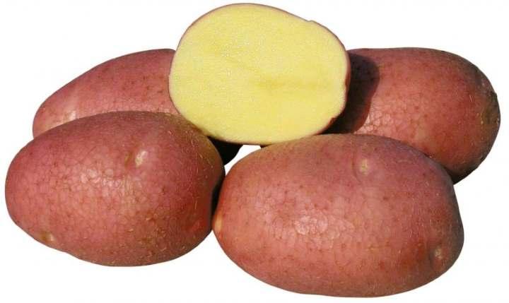 Сорт картофеля Беллароза