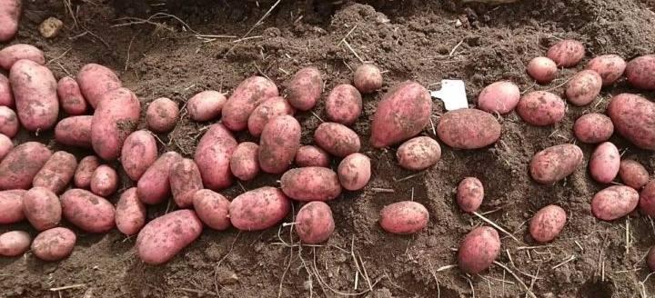 картофель сорта Лаура