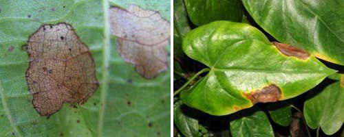 Антуриум поражен грибковым заболеванием - листья с пятнами