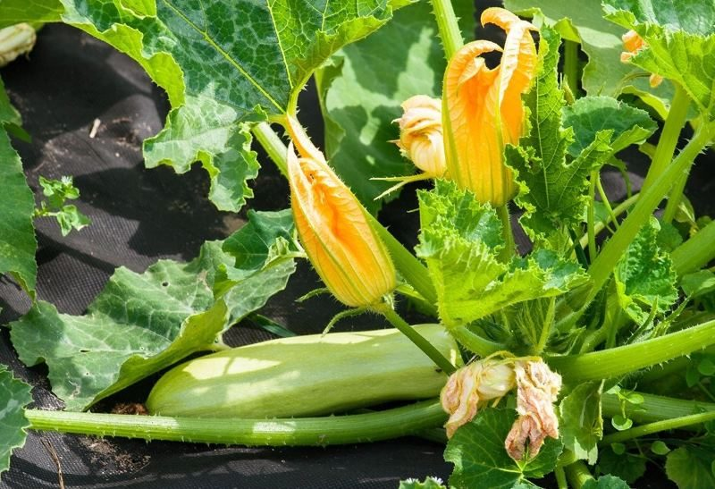Цветущий куст кабачка с плодами