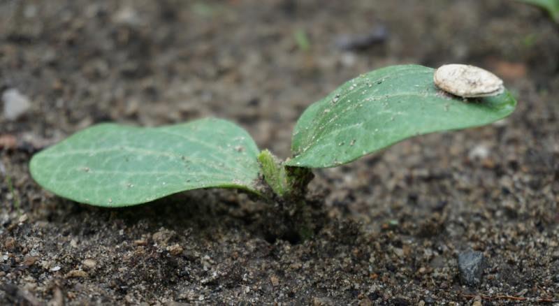Росток посеянного в грунт кабачка