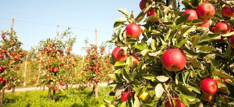 Как выглядит колоновидная яблоня Джин