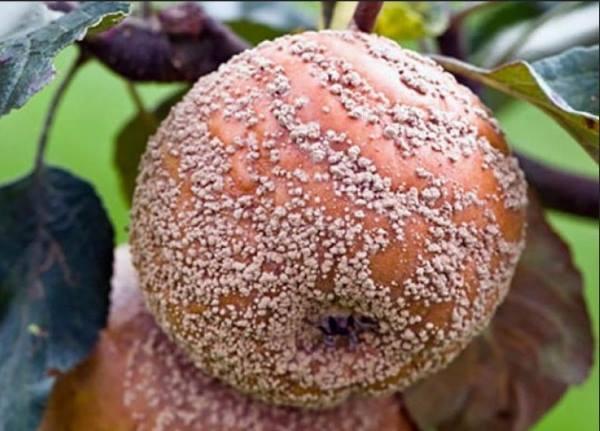 монилиоз - пораженные яблоки на дереве