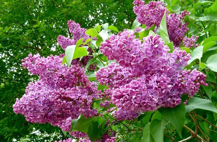 Персидская розовая сирень