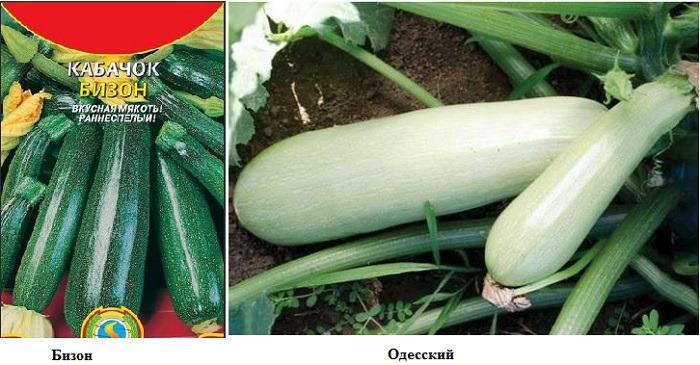 кабачки Бизон и Одесский