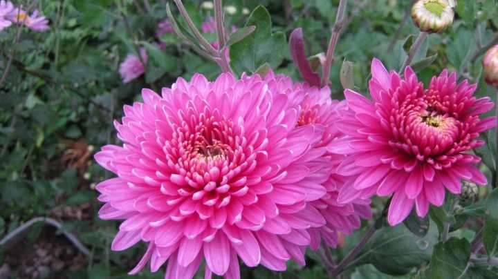 хризантемы корейские крупноцветковые