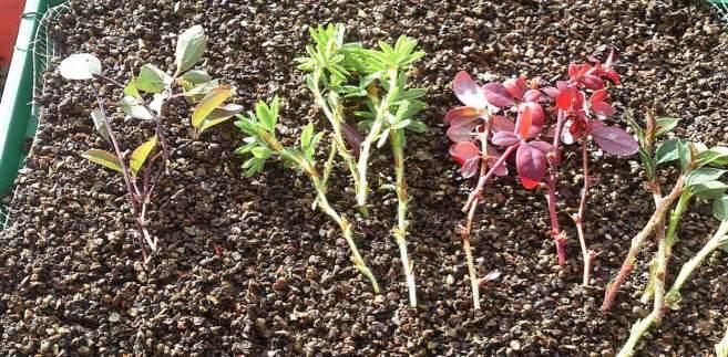 размножение барбариса зелеными черенками
