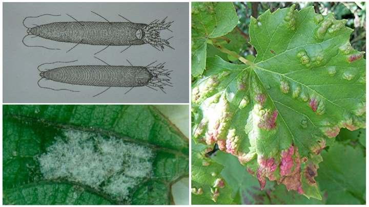 виноградный клещ и его проявление на листьях винограда