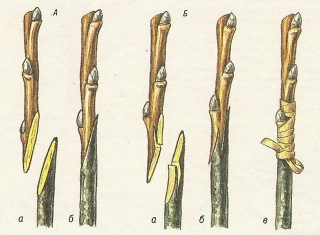 Прививка черенком «копулировкой»