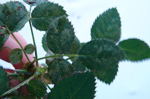 листья пораженные красным клещом