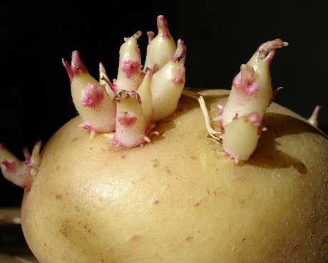 kartofel-razmn