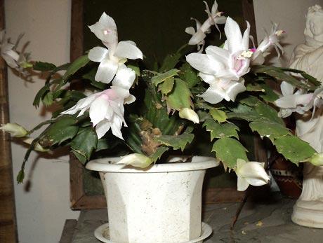 цветущий декабрист