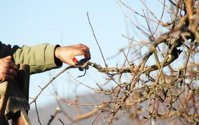 Проведение обрезки яблони
